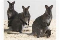 The Wallaby Brigade