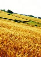 Song Of The Wheat