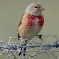 To A Linnet