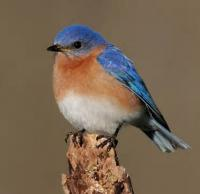 The First Bluebird