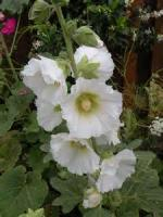 To A White Hollyhock