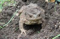 The Song Of The Garden-toad