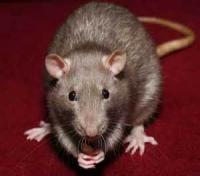 The Urban Rat And The Suburban Rat