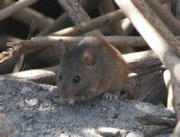 The Californian Mouse