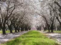 This Month The Almonds Bloom At Kandahar