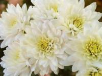 My White Chrysanthemum