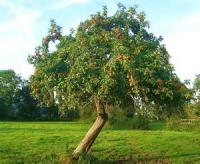 The Wonderful Apple-tree