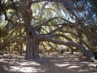 The Great Oak Tree