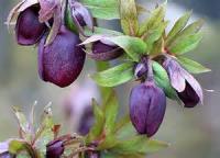 A Rosebud In Lent