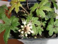 My Little Tiarella
