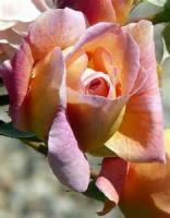 'couleur De Rose'