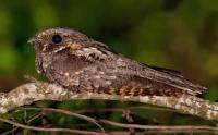 Last Night I Heard The Plaintive Whippoorwill