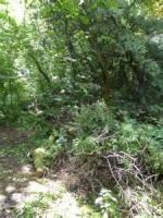 A Fallen Yew