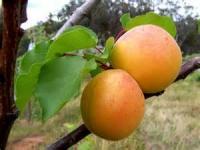 Fruit - Apricot -  Apricot Chicken