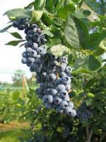 Fruit - Blueberry -  Spreadable Blueberries
