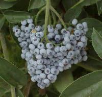 Fruit - Elderberry Jelly
