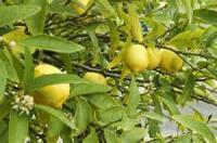 Fruit - Lime -  Avocado Lime Pie With Meringue