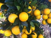 Fruit - Orange -  Mandarin Orange Muffins