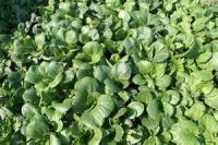 Vegetables - Bok Choy