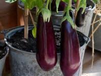 Vegetables - Eggplant  (freezing)
