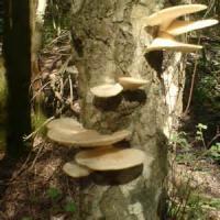 Vegetables - Mushroom Logs