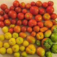 Vegetables - Tomatoes In All Their Glory