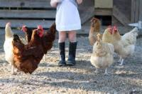Poultry - Chicken -  Chicken Joann