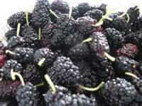 Preserving - Mulberry Jelly