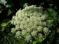 Preserving - Queen Anne's Lace